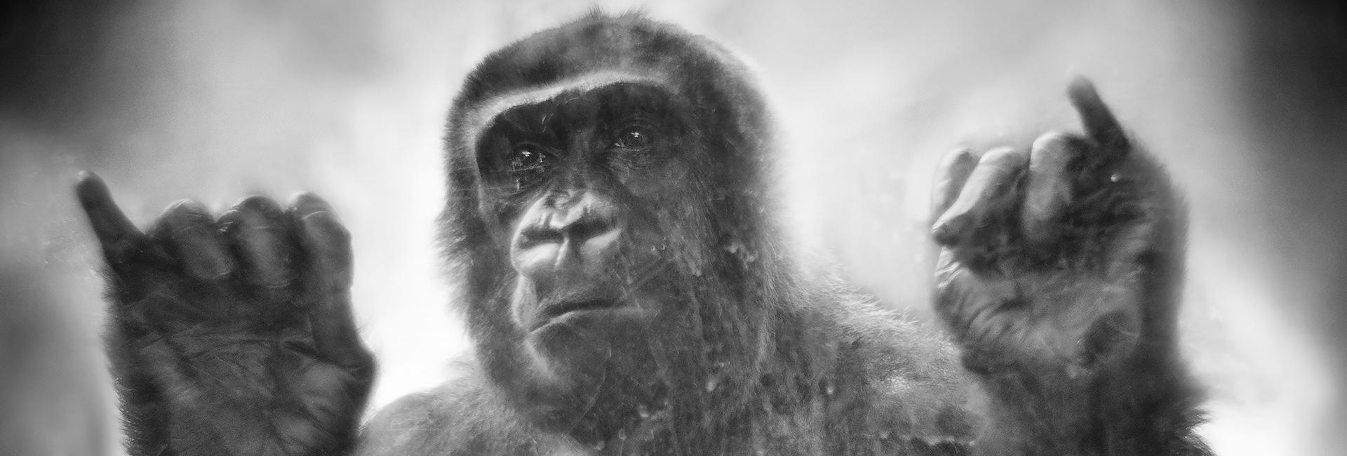 Der Affe «Boma» hinter Glasscheiben