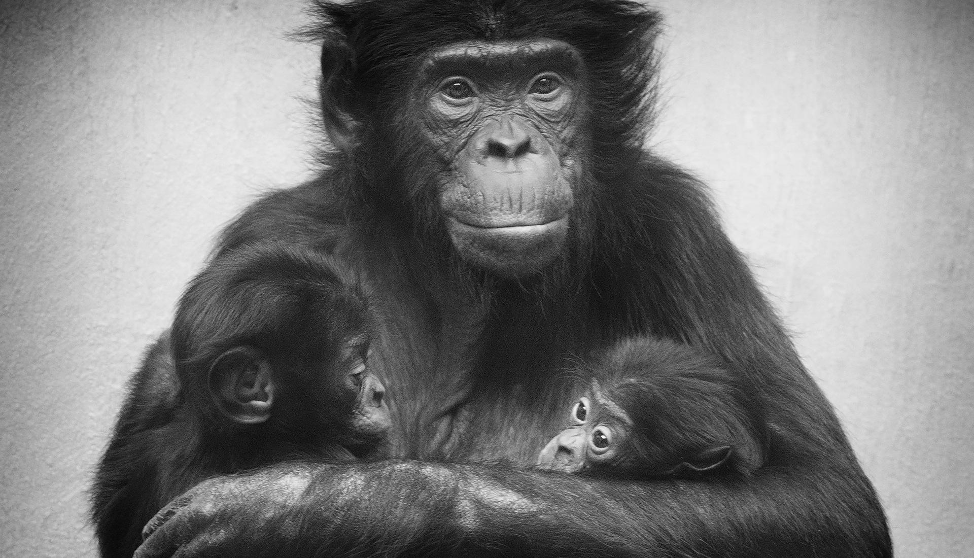 Affe «Eja» hält ihre zwei Affenbabies in den Armen